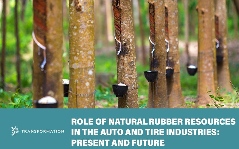 natural rubber trees with bowls full of latex